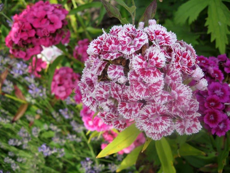 Kwitnie goździk turecczyznę, Dianthus barbatus, Niektóre kwitnący Tureccy kolorowi goździki na zamazanym tle zieleni liście, zdjęcia royalty free