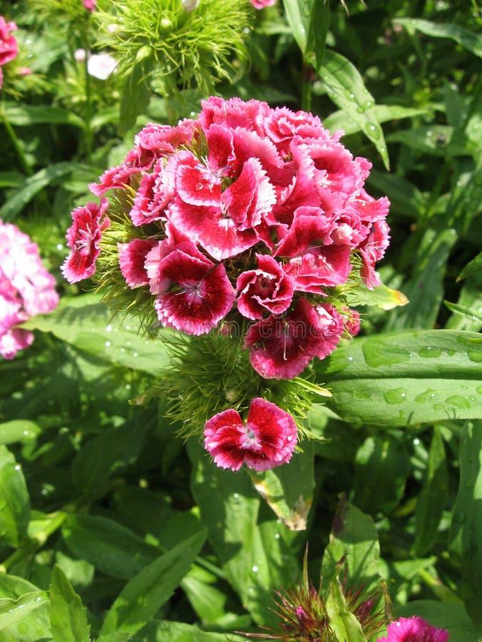 Kwitnie goździk turecczyznę, Dianthus barbatus, Niektóre kwitnący Tureccy kolorowi goździki na zamazanym tle zieleni liście, fotografia stock