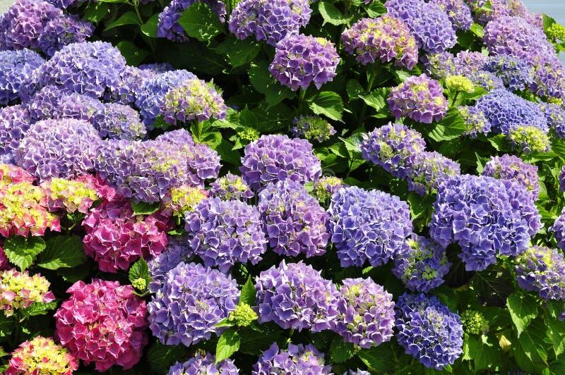 kwitnie hortensi zdjęcia royalty free