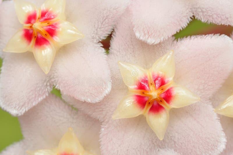kwitnie Hoya zdjęcia stock