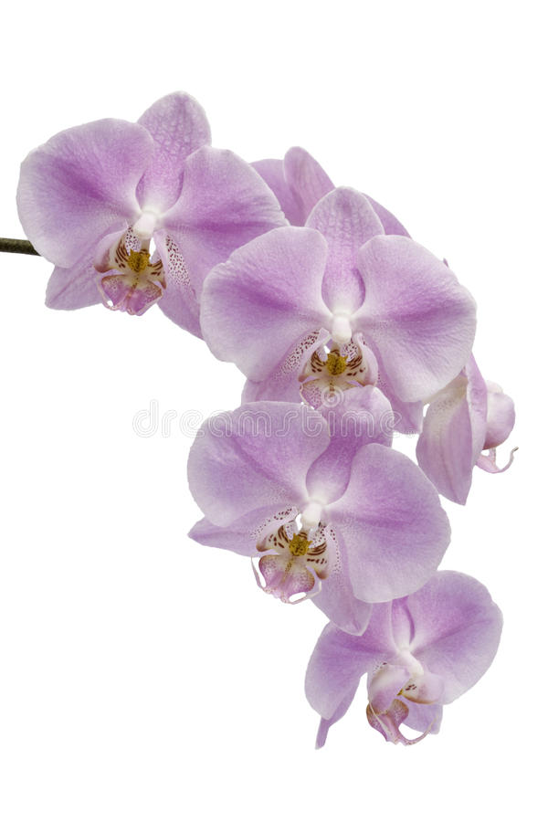 kwitnie hybrydowego storczykowego phalaenopsis fotografia stock