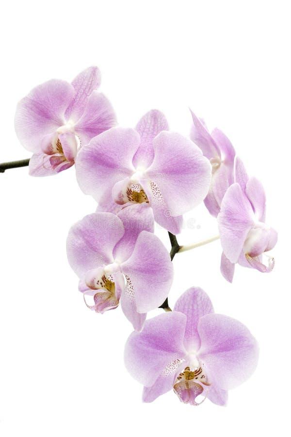 kwitnie hybrydowego storczykowego phalaenopsis zdjęcie stock