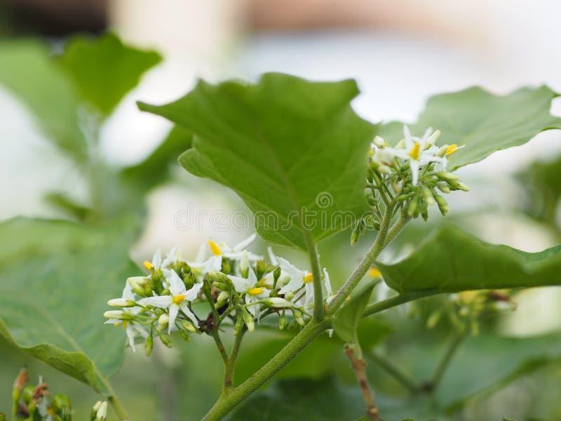 Kwitnie Indyczej jagody, Solanum torvum imienia jarzynowi Biali płatki, żółty pollen na plamy natury tle zdjęcie stock