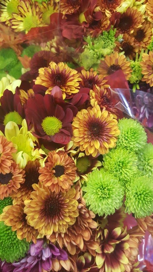 Kwitnie jesieni hrisantems zdjęcia stock