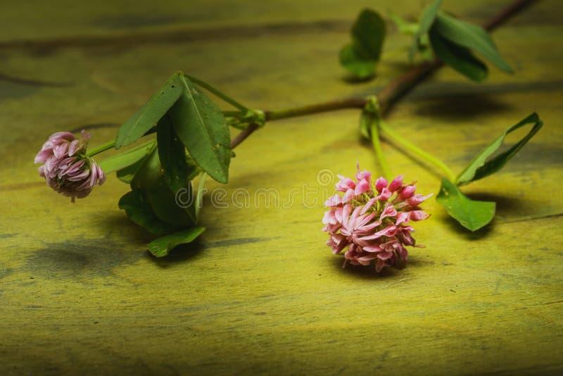 Kwitnie koniczyny fotografia stock