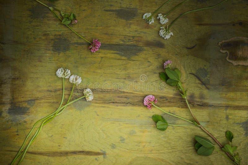 Kwitnie koniczyny obrazy stock