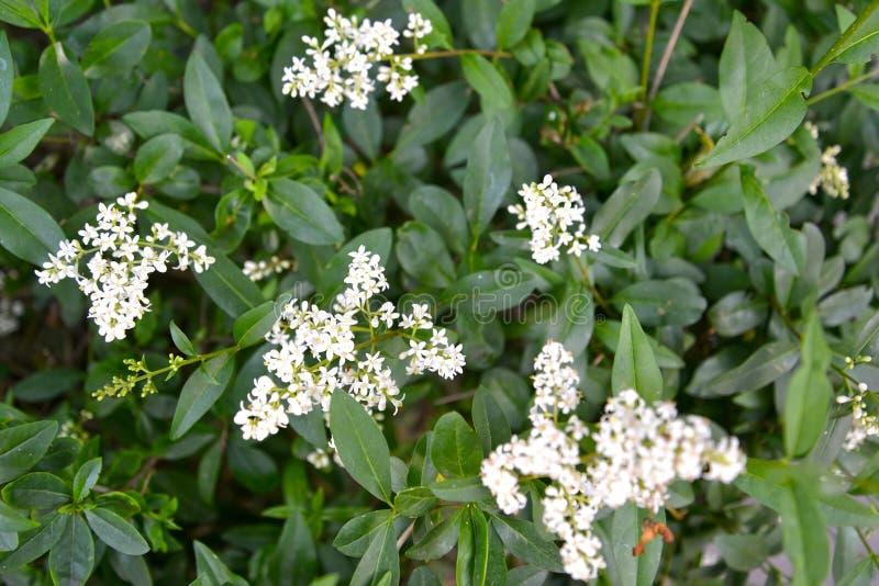 Kwitnie krzak ligustrowy zwyczajny Ligustrum vulgare L zdjęcie stock