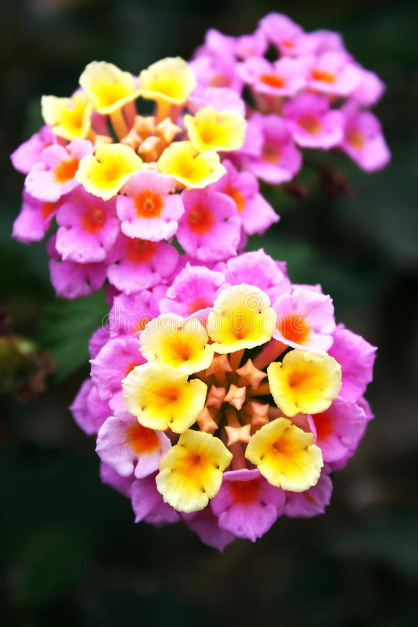 kwitnie lantana zdjęcie stock