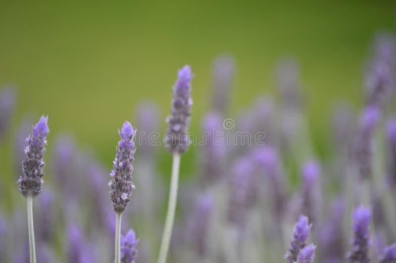 kwitnie lawendy zdjęcie stock