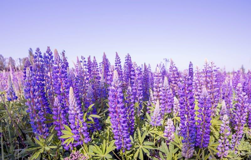Kwitnie lilych łubiny w łące obraz royalty free