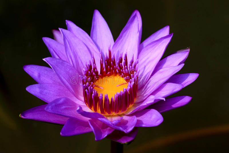 kwitnie lotosowe purpury zdjęcie royalty free