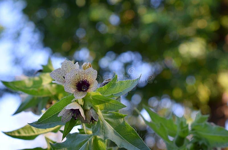 Kwitnie lulka w polu zdjęcia stock