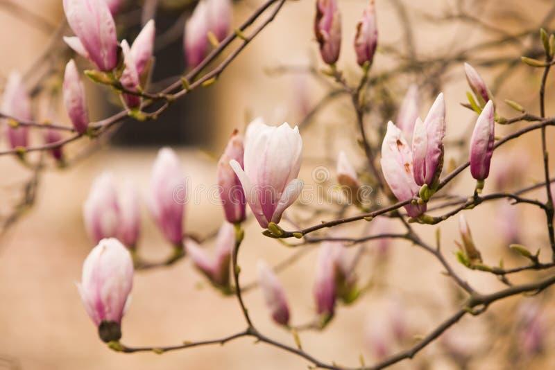 kwitnie magnolii zdjęcia royalty free