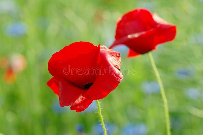 kwitnie makową czerwień obraz royalty free