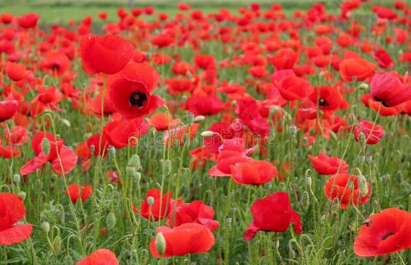 kwitnie makową czerwień obraz stock