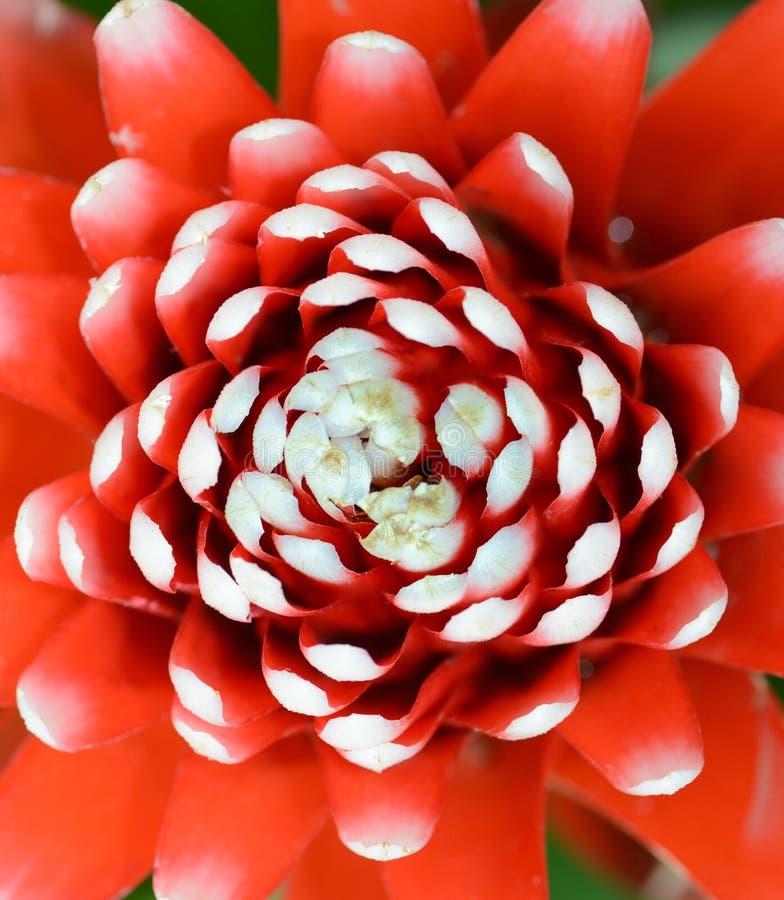 Kwitnie makro- jaskrawy czerwony guzmania bromeliad z białymi poradami fotografia stock
