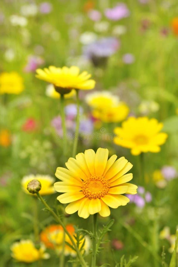 kwitnie marguerite kolor żółty zdjęcia royalty free