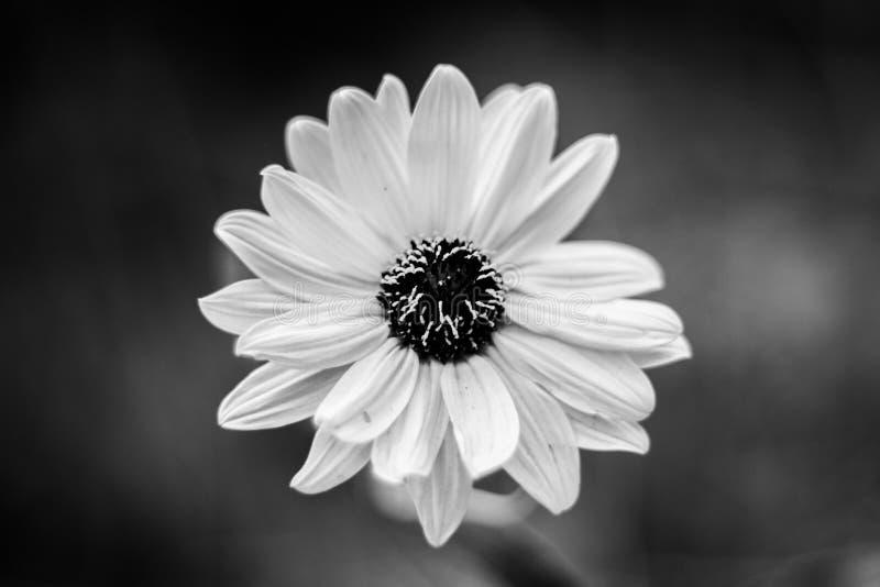 kwitnie minimalizm czarny i biały obrazy royalty free