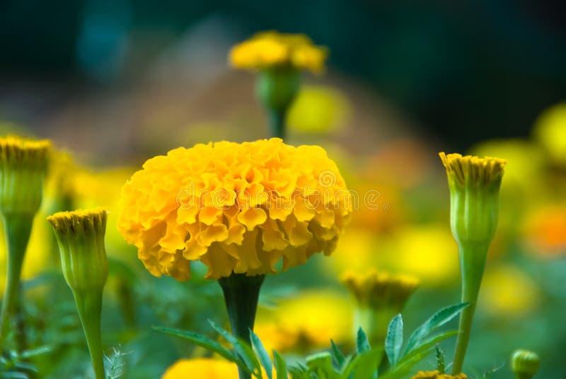 kwitnie nagietka fotografia stock