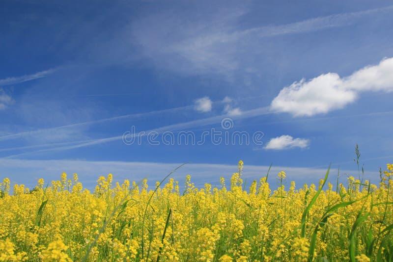 kwitnie niebo łąkowego żółty zdjęcia stock