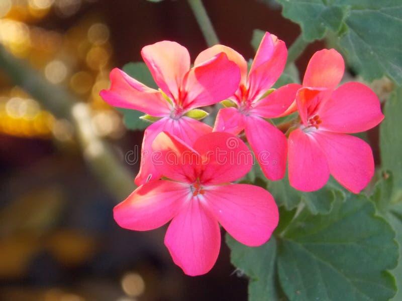 kwitnie ogrodowe menchie obrazy royalty free
