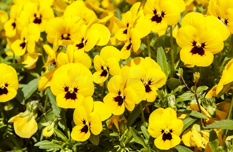 kwitnie pansy kolor żółty obraz royalty free