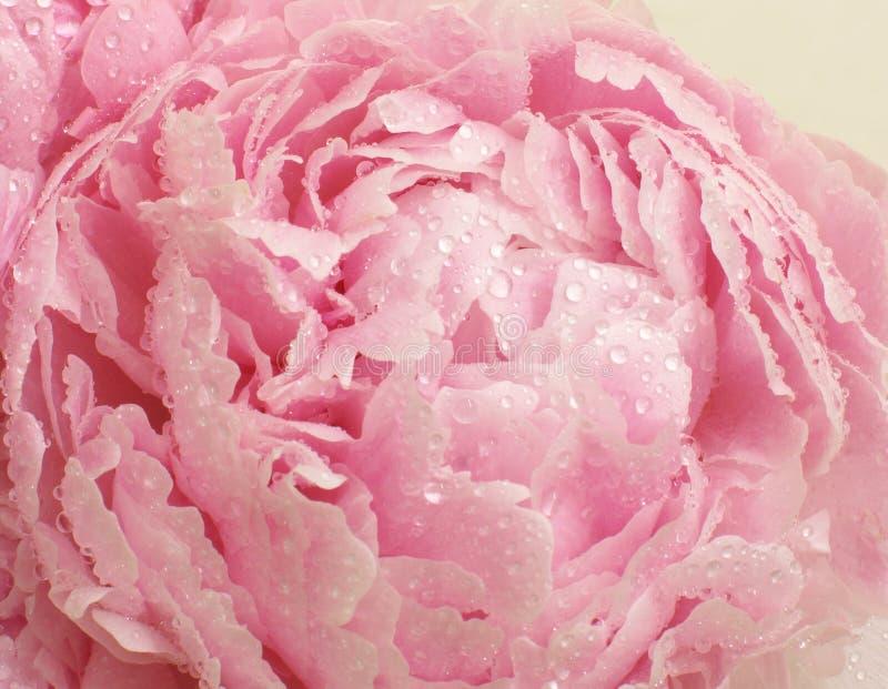 Kwitnie peonia kwiat jest delikatnie różowy z raindrops na płatkach, zakończenie up, makro- fotografia stock