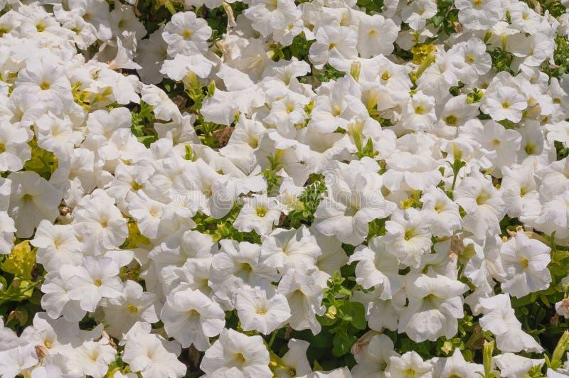 kwitnie petunia biel obraz stock