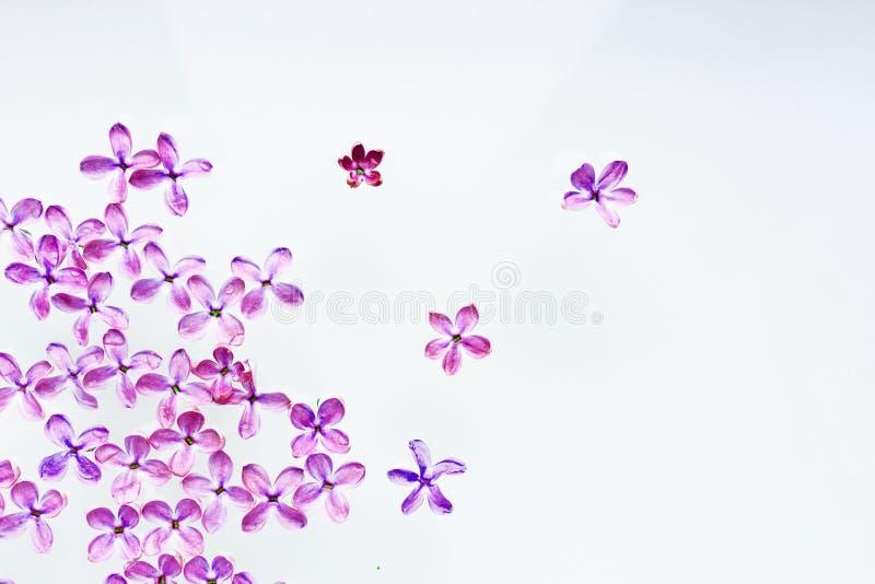 Kwitnie purpurowego bzu rozk?adaj?cego na bia?ym tle Mi?kki wizerunek fotografia stock