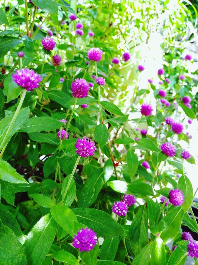 Kwitnie purpurowych ones zdjęcie royalty free