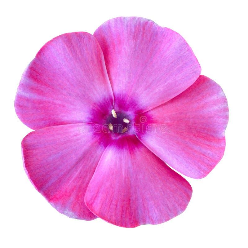 Kwitnie różowego lilego floksa odizolowywającego na białym tle Zakończenie zdjęcie stock