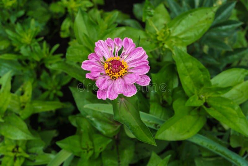 Kwitnie różowego ziniya z ogródem w wiosce LATO krajobraz obrazy royalty free