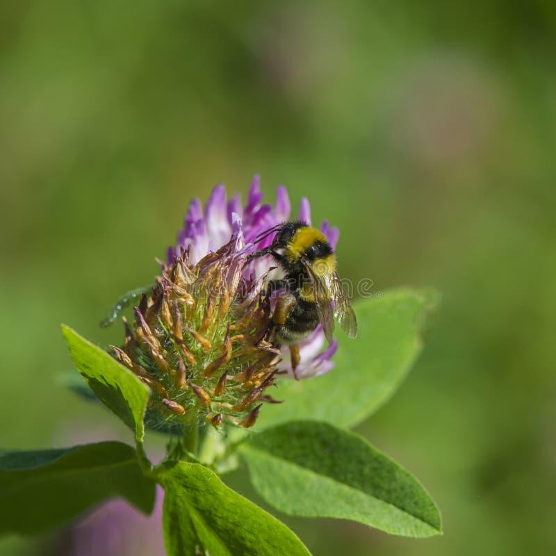 Kwitnie różowej koniczyny i mamrocze pszczoła zbierackiego nektar na zamazanym obraz stock