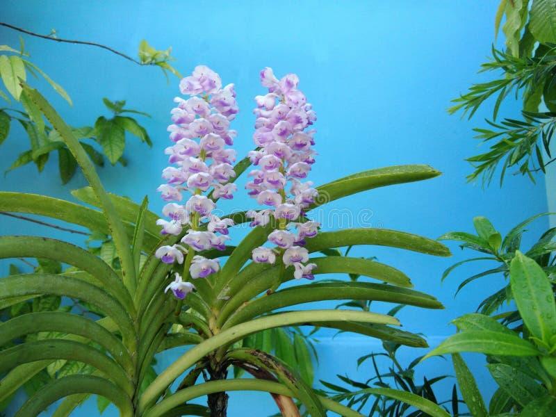Kwitnie Rhynchostylis coelestis, Błękitnego bru kwiatu tropikalny storczykowy bukiet zdjęcie stock