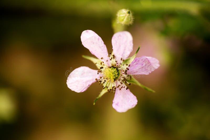 Kwitnie Rubus occidentalis Rosaceae tła rodzinną makro- sztukę piękną w wysokiej jakości druków produktach pięćdziesiąt megapixel fotografia stock