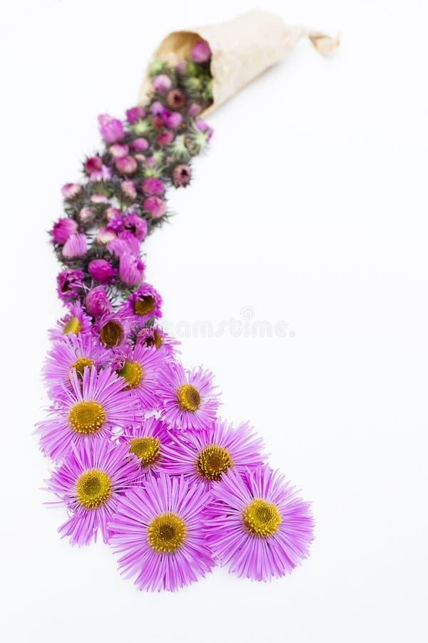 Kwitnie skład Fiołek kwitnie na białym tle wierzchołek rywalizuje zdjęcia stock