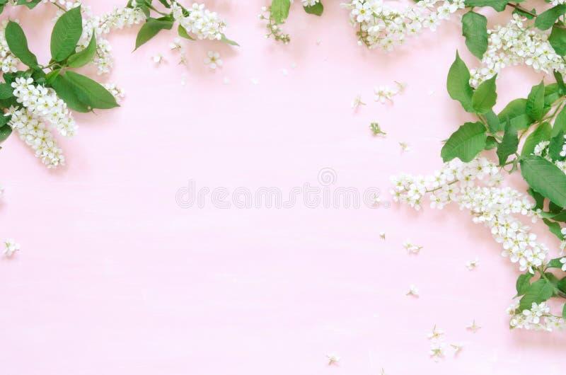 Kwitnie sk?ad Wiosny lub lata tło; świeżych kwiatów ptasia wiśnia na różowym tle - Mieszkanie nieatutowy, odgórny widok, kopii pr obraz stock