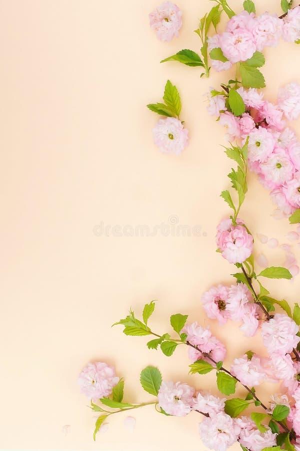 Kwitnie sk?adu t?o piękny różowy Sakura kwitnie na bladym pomarańczowym tle zdjęcia royalty free