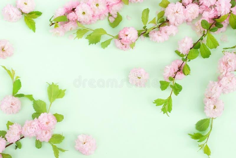 Kwitnie sk?adu t?o pi?kny r??owy Sakura kwitnie na mlecznozielonym tle zdjęcia stock