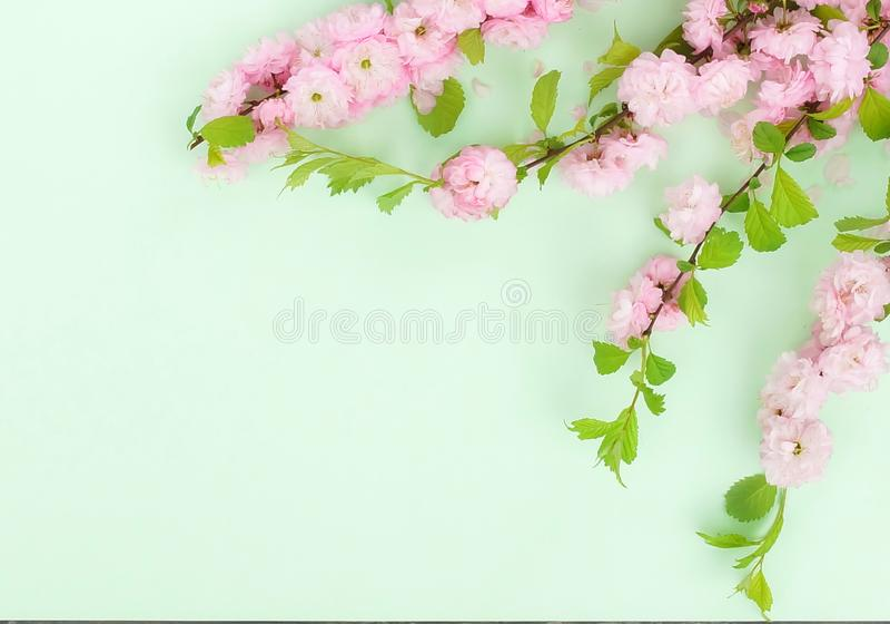 Kwitnie sk?adu t?o pi?kny r??owy Sakura kwitnie na mlecznozielonym tle obraz stock