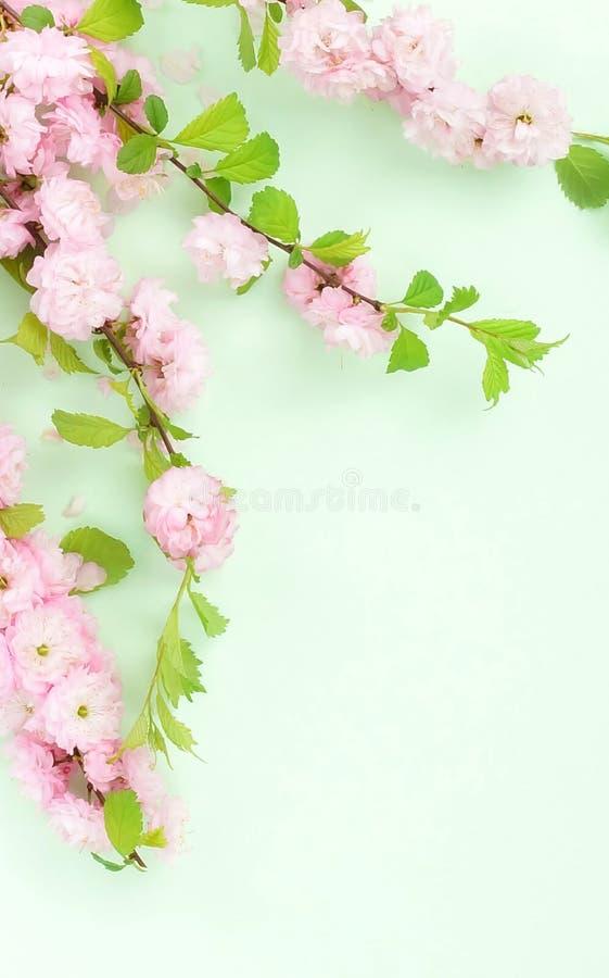Kwitnie sk?adu t?o pi?kny r??owy Sakura kwitnie na mlecznozielonym tle zdjęcie royalty free