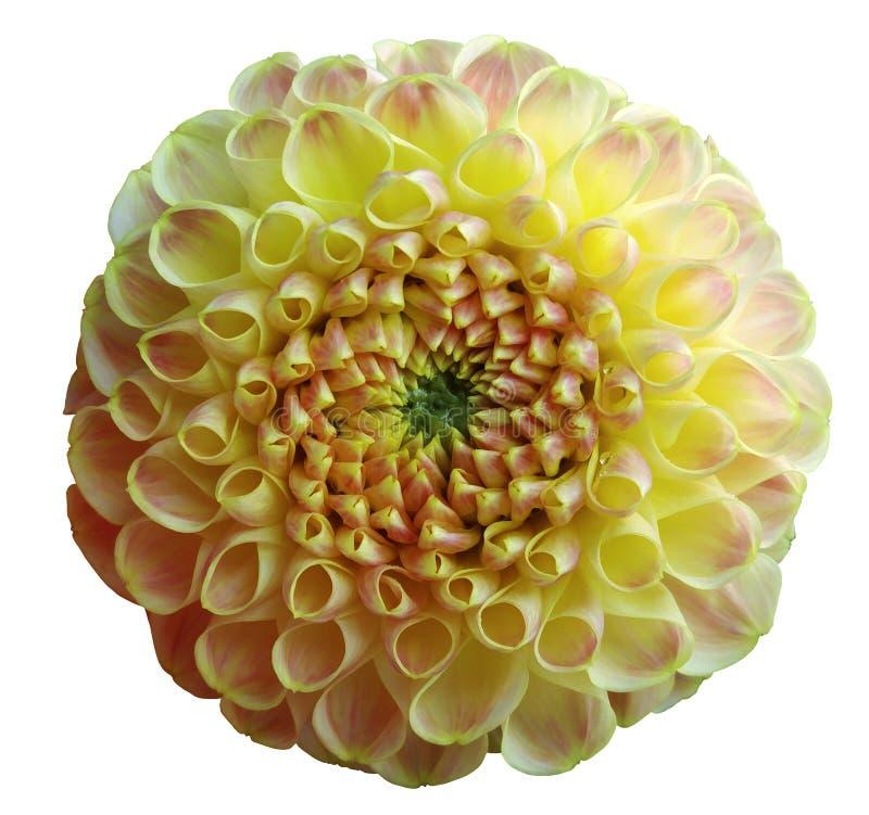 Kwitnie tęczy żółtej dalii białego odosobnionego tło z ścinek ścieżką zbliżenie Żadny cienie fotografia royalty free