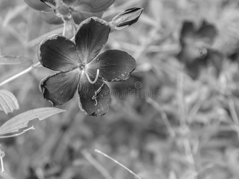 Kwitnie tła zbliżenia pięknych Czarny i biały kwiaty zdjęcia royalty free