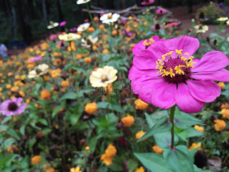 Kwitnie ten spojrzenie pięknego w sosnowym lesie obrazy royalty free