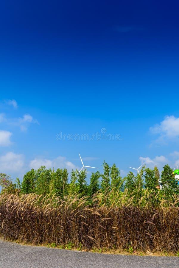 Kwitnie trawy pole Pennisetum setaceum bru fontanny trawa lub meksykanin trawa z światłem słonecznym i niebieskim niebem używa dl zdjęcie royalty free