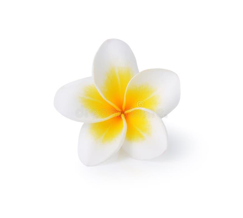 kwitnie tropikalnego frangipani plumeria zdjęcie royalty free