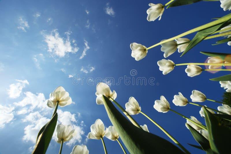 kwitnie tulipanu obrazy royalty free
