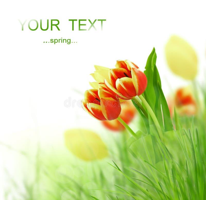 kwitnie tulipanu zdjęcia stock