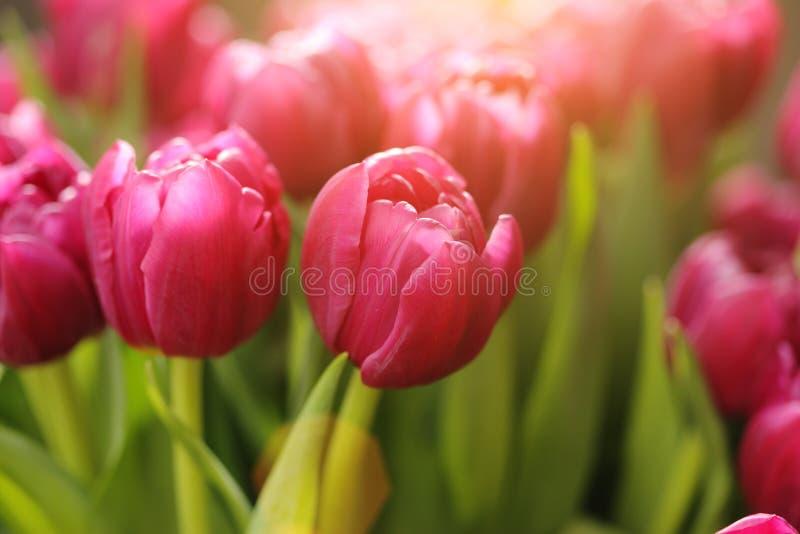 kwitnie tulipanu zdjęcie royalty free