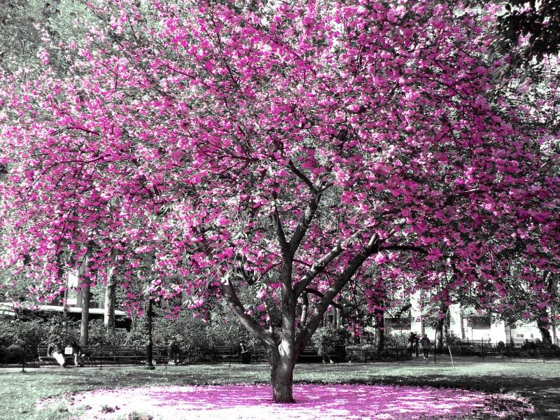 kwitnie wiśni obraz stock